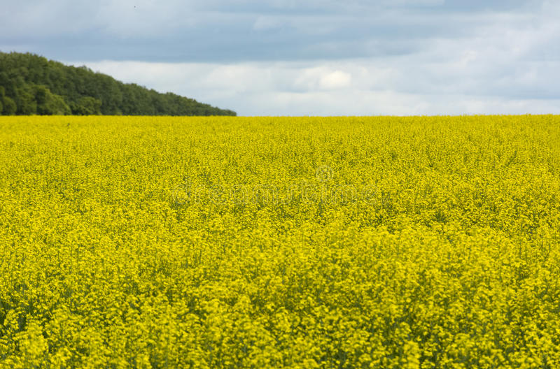 Fältet av guling blommar till horisonten, träden i distancen arkivfoto