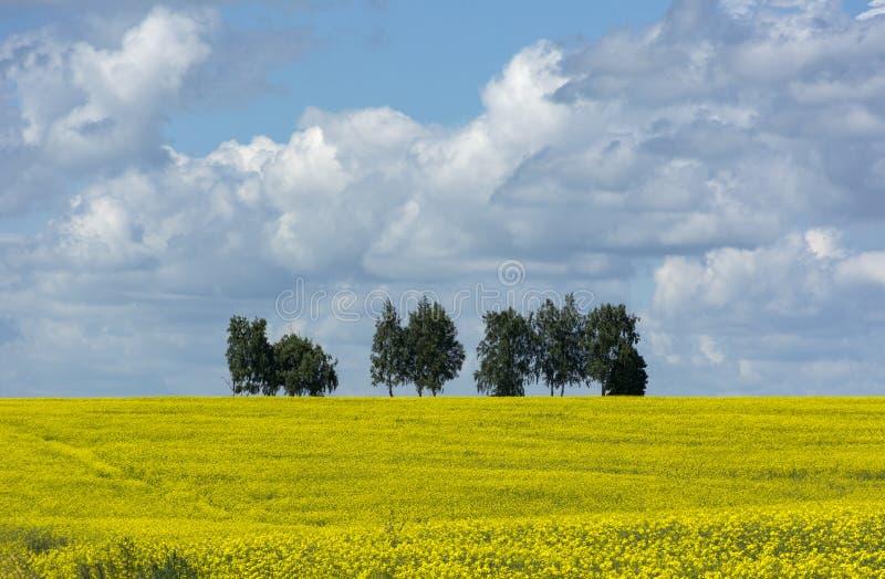 Fältet av guling våldtar blommor, träden på horisonten, himlen royaltyfri fotografi