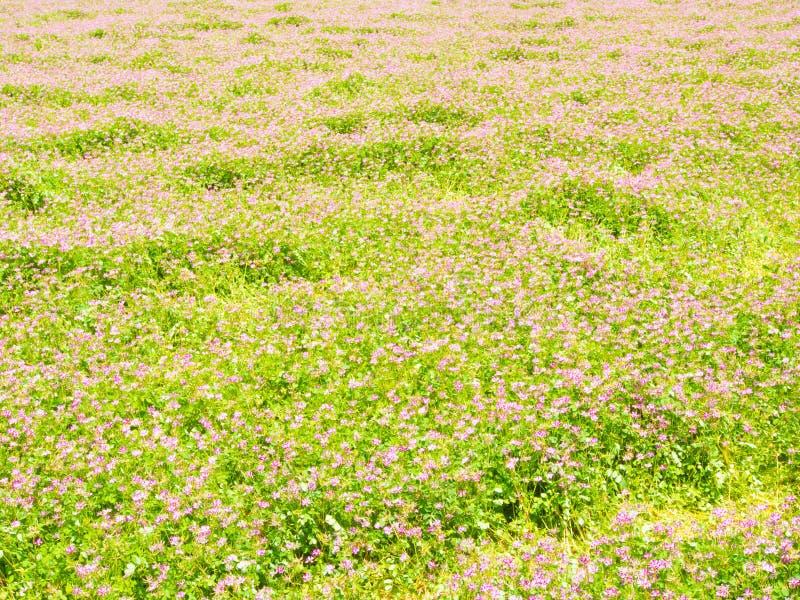 Fältet av kines mjölkar vicker är i blom på våren arkivfoton