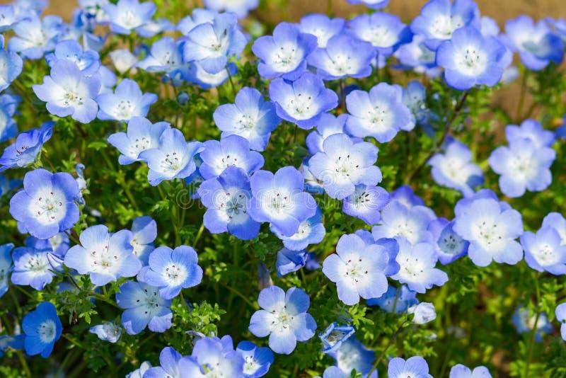 Fältet av Nemophila, eller behandla som ett barn blåa ögon (den Nemophila menziesiien, den Kalifornien blåklockan) arkivfoton