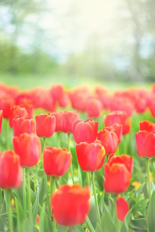 Fältet av röda tulpan i parkera tände vid solstrålar fotografering för bildbyråer