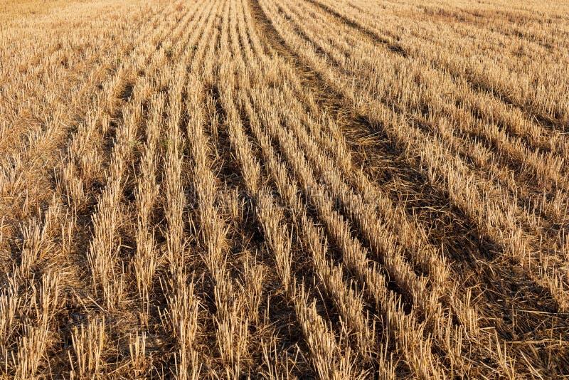 Fältet av sädesslag vete, korn, havre skördade mejat arkivbild