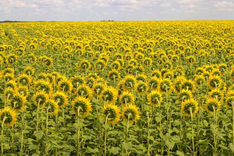 Fältet av solrosor drar tillbaka Blommande solrosäng solig liggandesommar royaltyfri fotografi