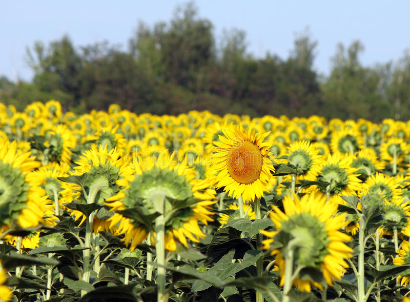 Fältet av solrosor, en blomma är inlämnat den direkta oppositen royaltyfria foton