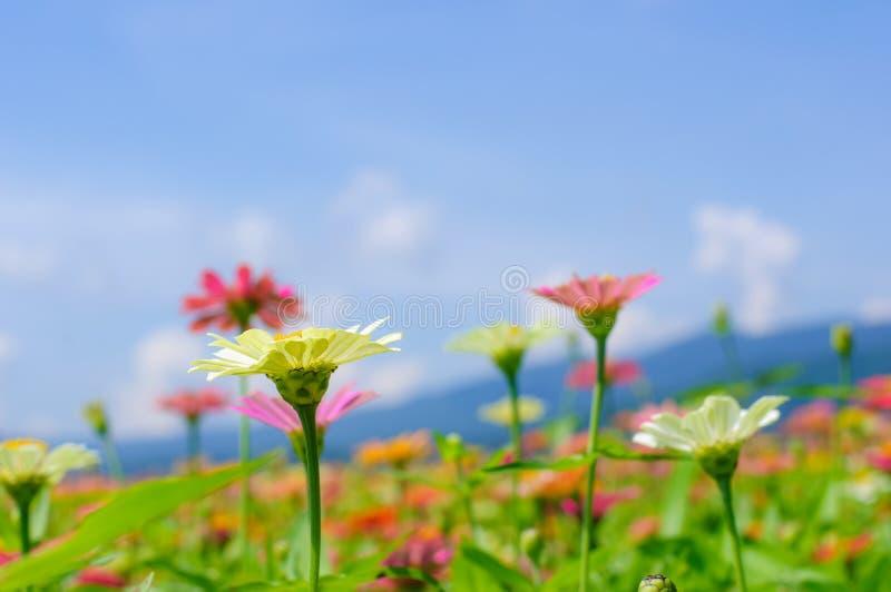 Fältet av tusenskönan blommar färgrikt royaltyfria bilder