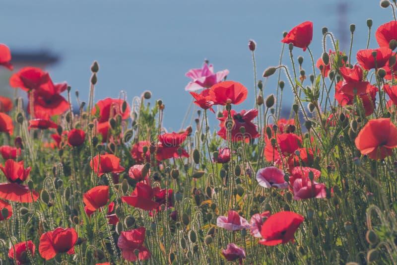 Fältet av vallmo mot bakgrunden av den blåa himlen, härliga röda blommor, en säsong av att blomstra av vallmo, arkivfoton