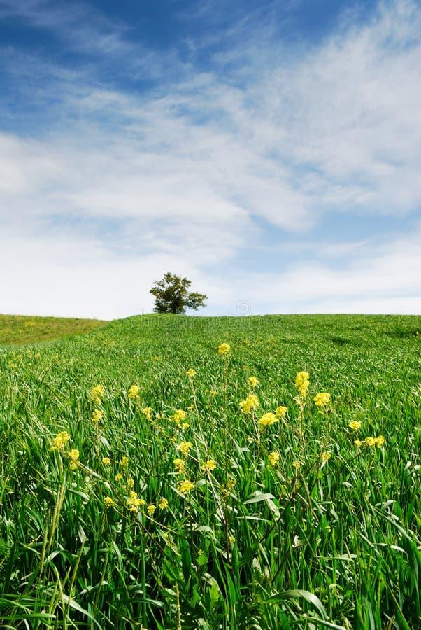 fältet blommar grön yellow royaltyfri foto