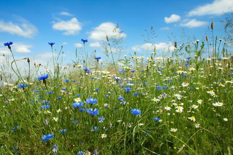 fältet blommar sommar arkivfoto