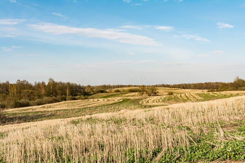 Fältet efter skörden, snitt förföljer av av sädesslag och att spira grönt gräs, blå himmel med små moln, vårtid royaltyfria foton