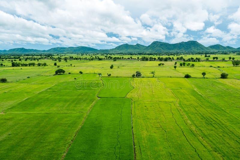 Fältet för jasminrisgrodden växer i åkerbruk säsong med royaltyfri fotografi