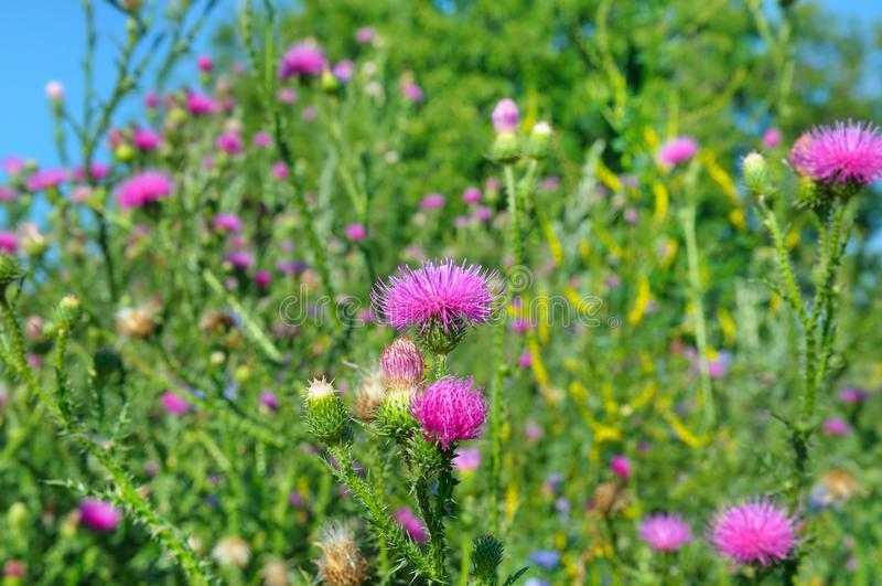 Fältet med Silybummarianum mjölkar tisteln, läkarundersökningväxter arkivfoton