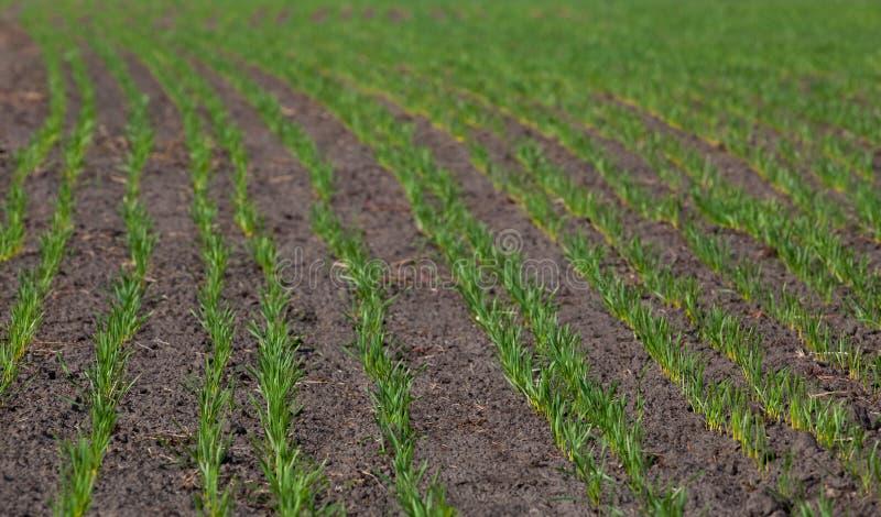 Fältet med spirad vinter kantjusterar i rad, lågt vete royaltyfria foton