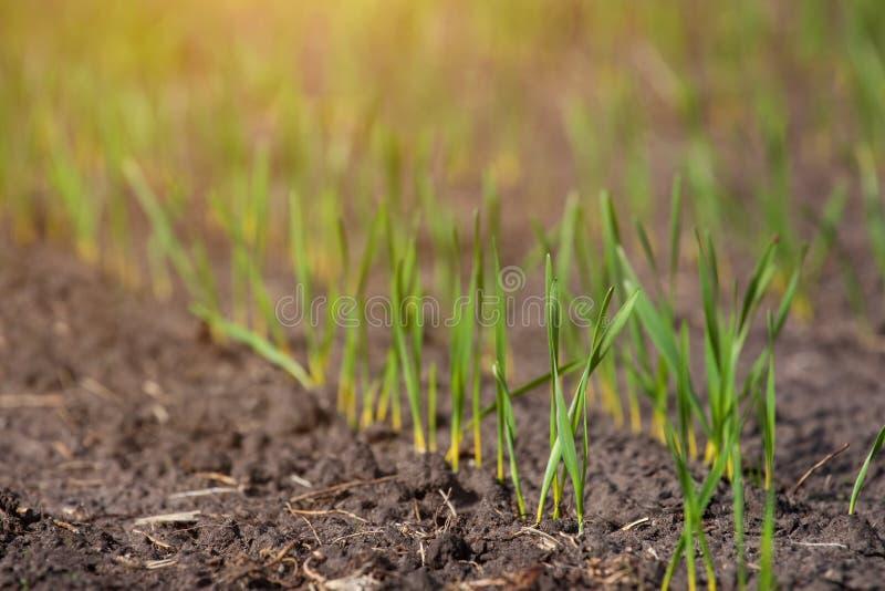Fältet med spirad vinter kantjusterar i rad, lågt vete, för vinterdvala royaltyfria foton