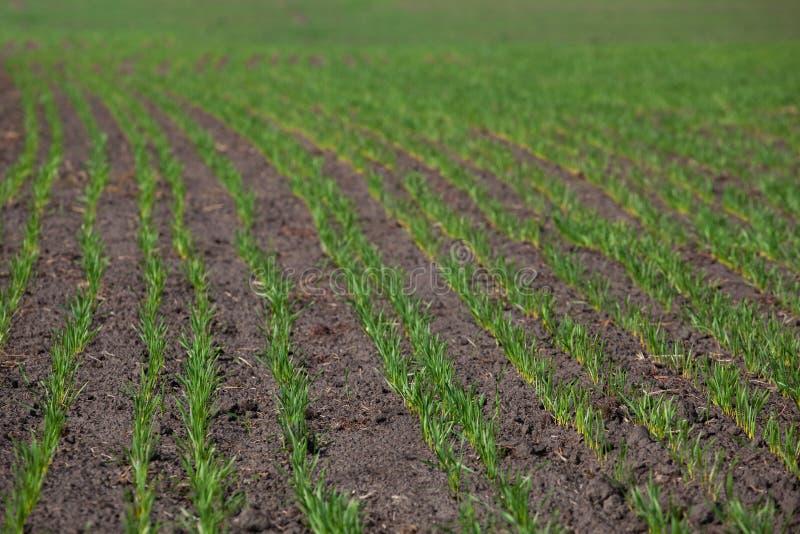 Fältet med spirad vinter kantjusterar i raden, lågt vete för vinterdvala arkivbild