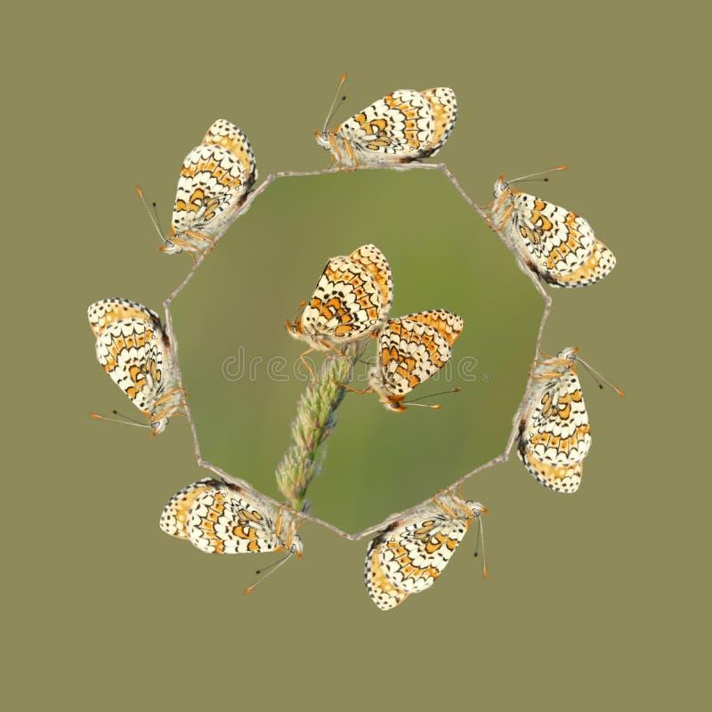 Fältfritillaryfjäril som parar ihop dans stock illustrationer