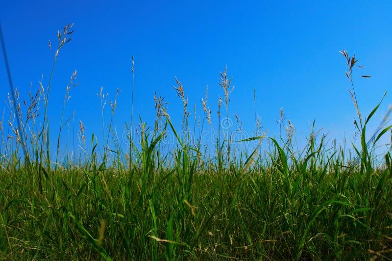 Download Fältgräs arkivfoto. Bild av trädgård, växt, naturligt, färg - 985054
