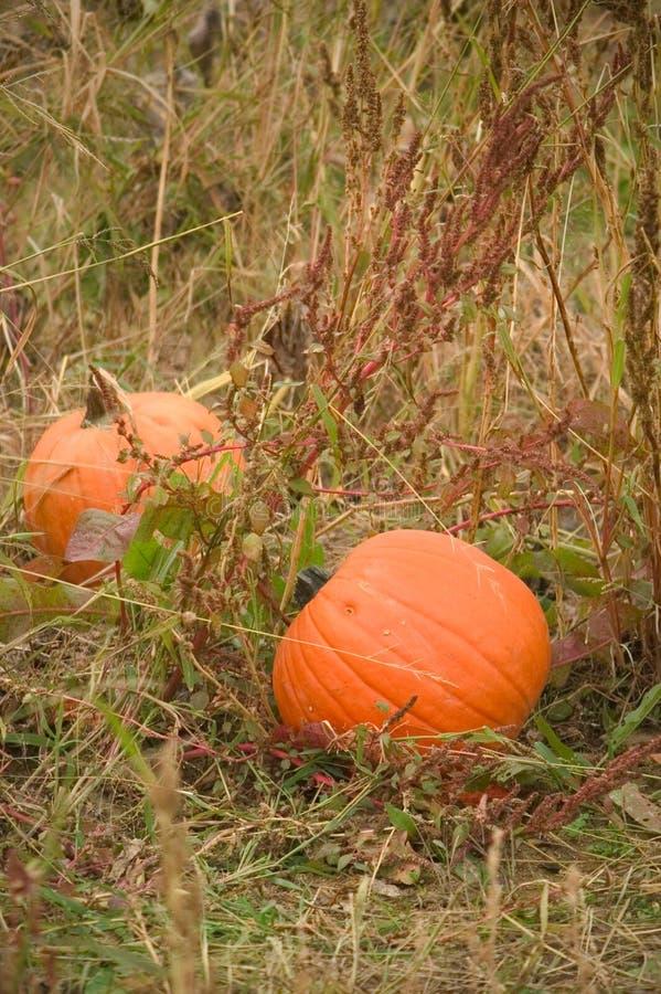 Download Fältpumpor arkivfoto. Bild av orange, skörd, vines, fält - 33890
