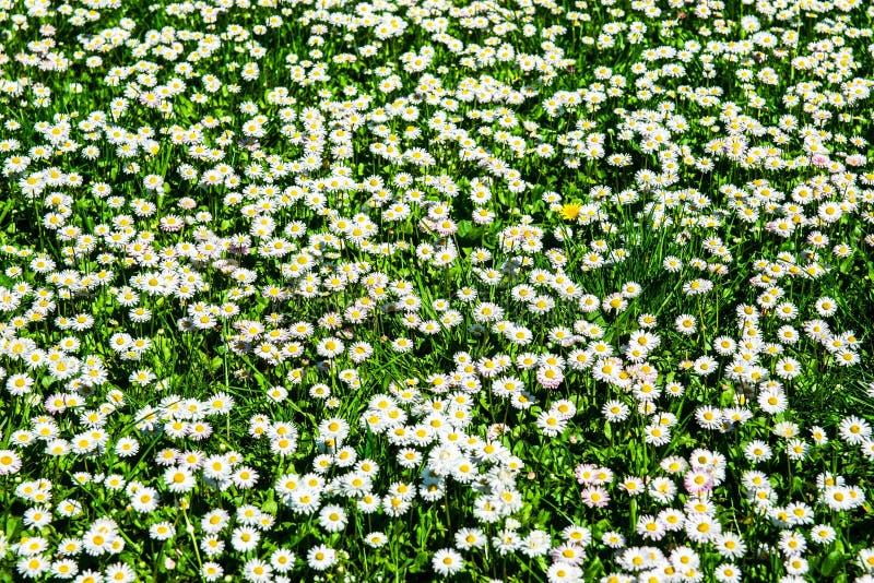 Fälttusenskönor Closeupsikt av vita och rosa tusenskönor i solen arkivbilder