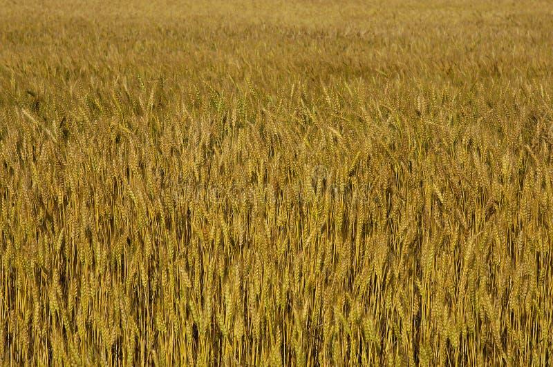 Download Fältvete arkivfoto. Bild av sommar, vete, lantbruk, fält - 290812