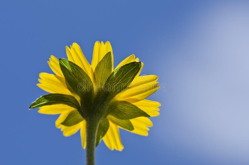 Färben Sie Blume wenig blauer Himmel des gelben Sternes gelb stockbild