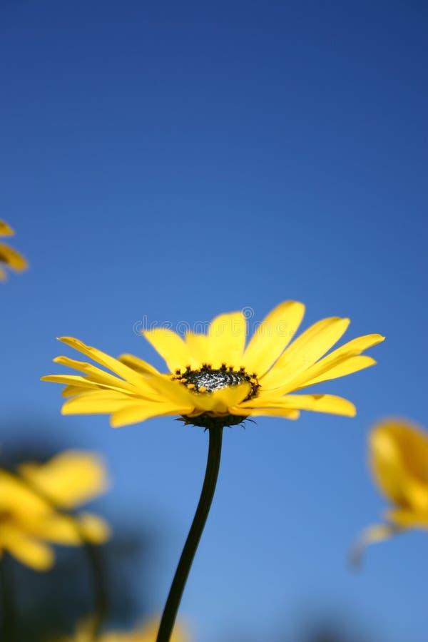 Färben Sie Gänseblümchen Gelb Stockfotografie