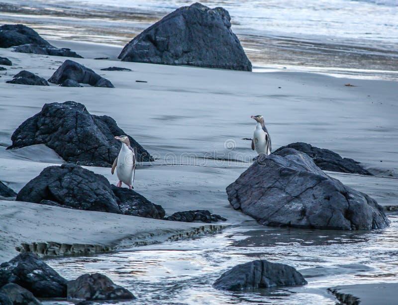 Färben Sie gemusterte Pinguine auf dem Strand, Otago, Neuseeland gelb stockbilder