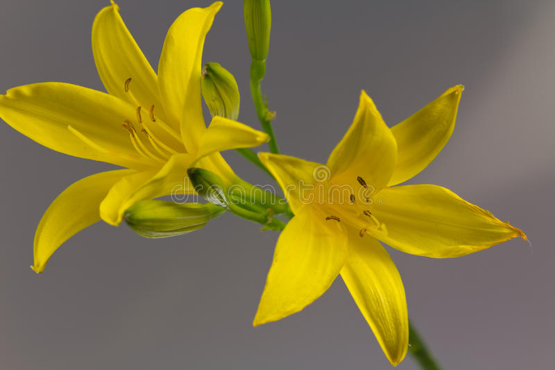 Färben Sie Lilie auf einem grauen Hintergrund, Abschluss herauf Schuß gelb lizenzfreie stockfotos
