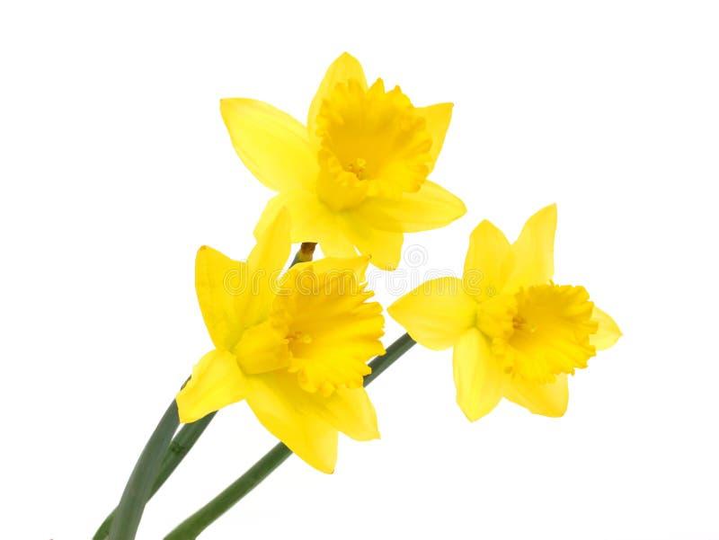 Färben Sie Narzisse gelb lizenzfreie stockfotografie