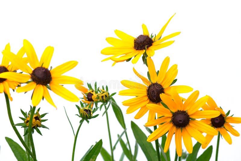 Färben Sie Rudbeckia gelb lizenzfreie stockfotos