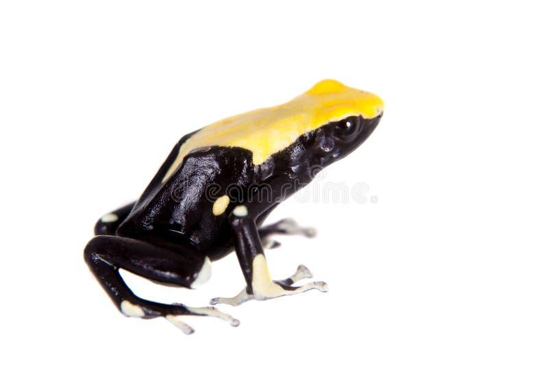 Färben Sie Zurück Färbenden Giftpfeilfrosch, Dendrobates-tinctorius ...