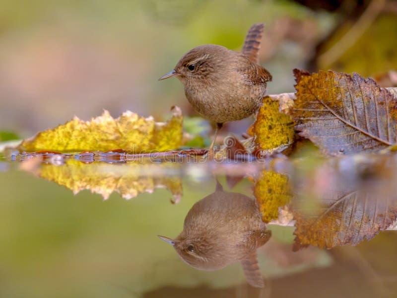 Färbte eurasischer Zaunkönigherbst der Reflexion Blätter lizenzfreie stockfotografie