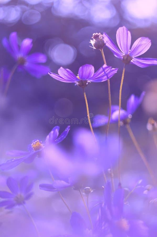 Färg för blommakosmoslilor Mycket härliga blommor med purpurfärgat tona Selektivt fokusera royaltyfria foton