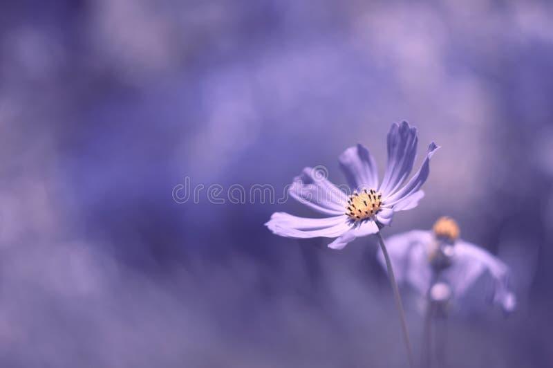 Färg för blommakosmoslilor som lokaliseras i det lägre högra hörnet med en härlig bakgrund royaltyfria bilder