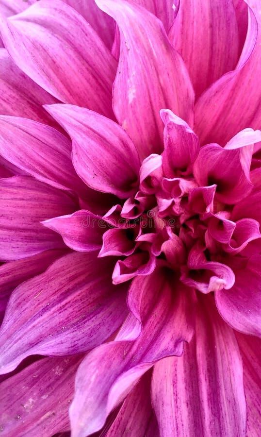Färg för Dahila blommarosa färger för iPhoneskärm arkivbilder