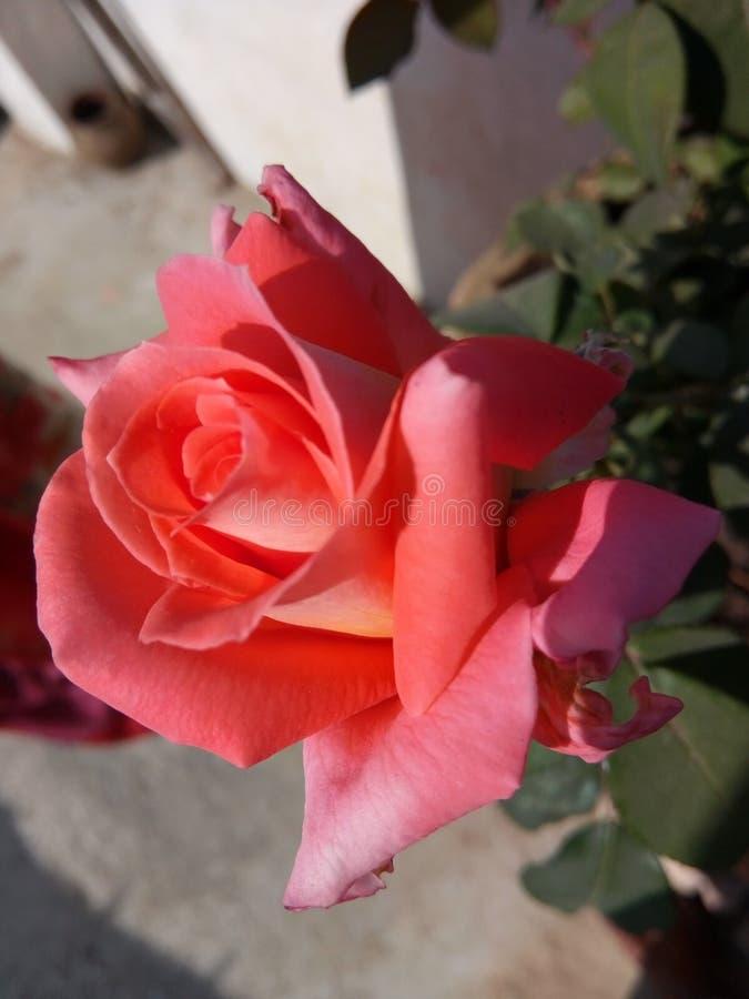 Färg för röd ros för blomma orange arkivbilder