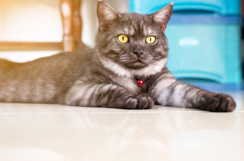 Färg och öga för Cat Scottish vecksvart som nyfiket förvånas royaltyfri bild
