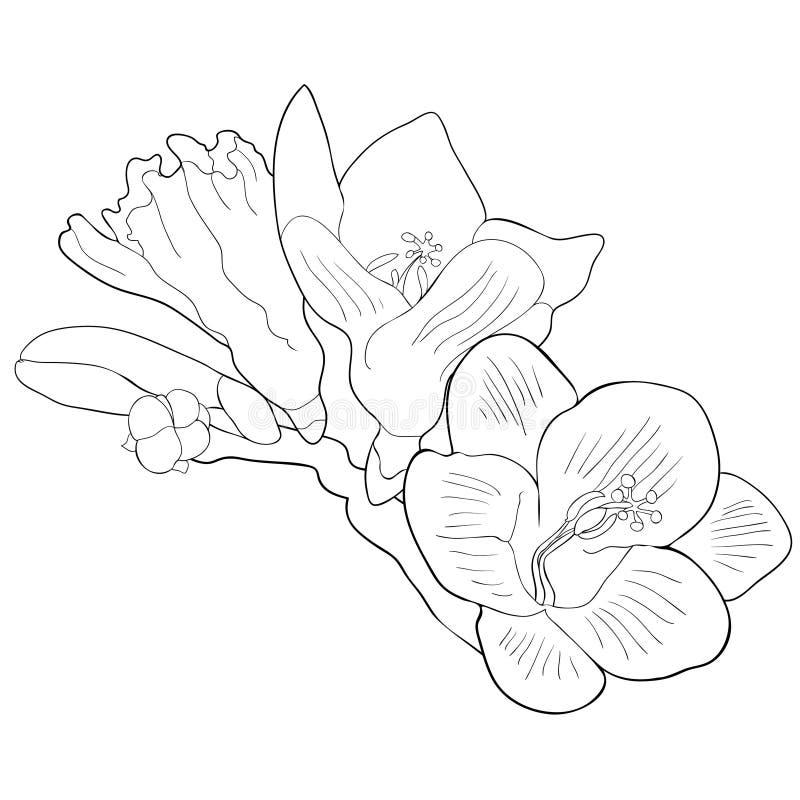 Färga blommafreesiasorten av irins också vektor för coreldrawillustration vektor illustrationer
