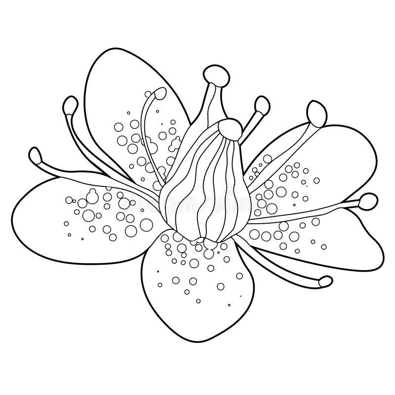 Färga blomman av stenbräckaurbrosaen också vektor för coreldrawillustration vektor illustrationer