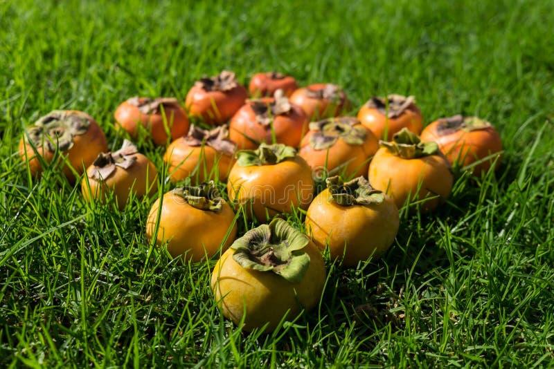 Färga lutningen av mogen och omogen persimonfrukt arkivbild