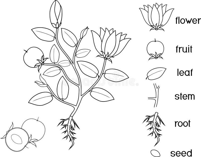 Färga sidan Delar av växten Morfologi av blomningväxten med rotar systemet, blommor, frukt och titlar stock illustrationer