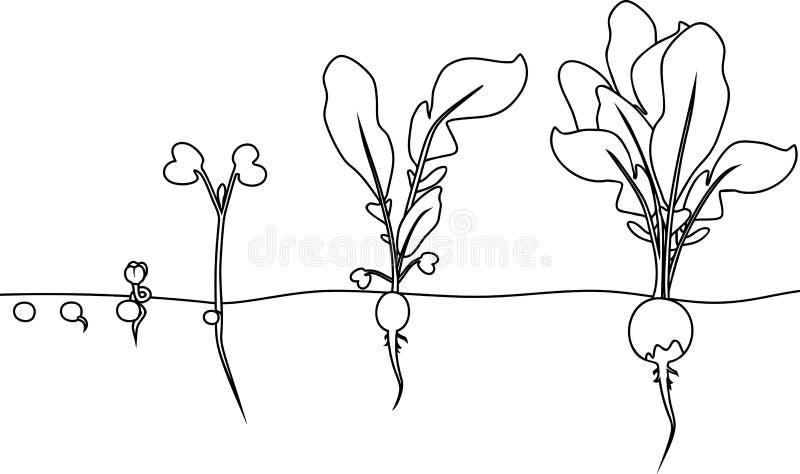 Färga sidan Etapper av rädisatillväxt från kärnar ur och spirar för att skörda royaltyfri illustrationer