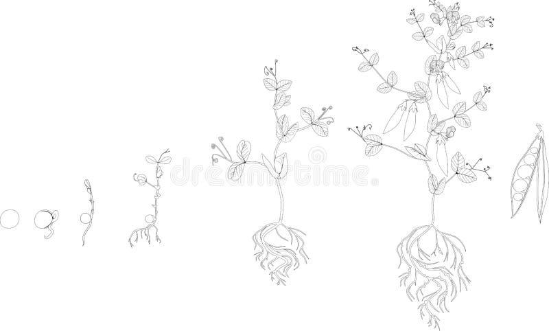 Färga sidan Livcirkulering av ärtaväxten Etapper av ärtatillväxt från kärnar ur till den vuxna växten med frukter stock illustrationer