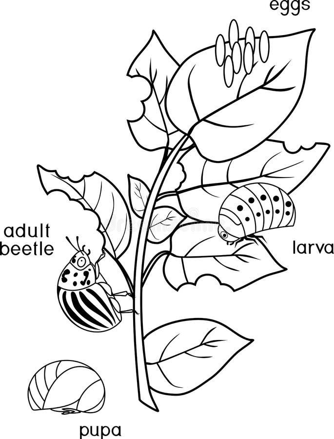 Färga sidan Olika etapper av utveckling av den Colorado potatisskalbaggen eller Leptinotarsadecemlineataen på det skadade potatis stock illustrationer