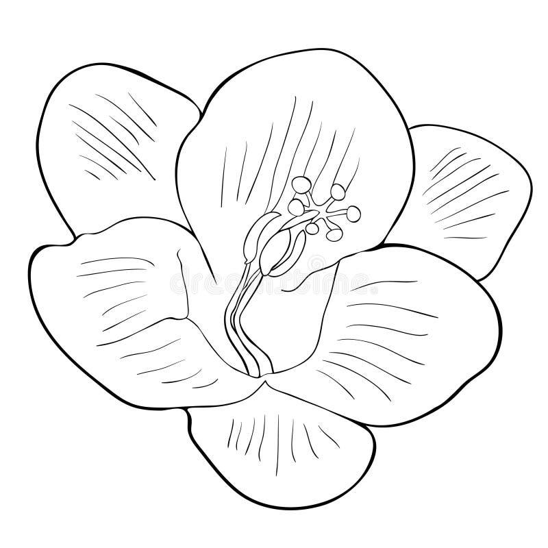 Färga sorten för blommafreesiaflowerfreesia av irins Vektorillu vektor illustrationer