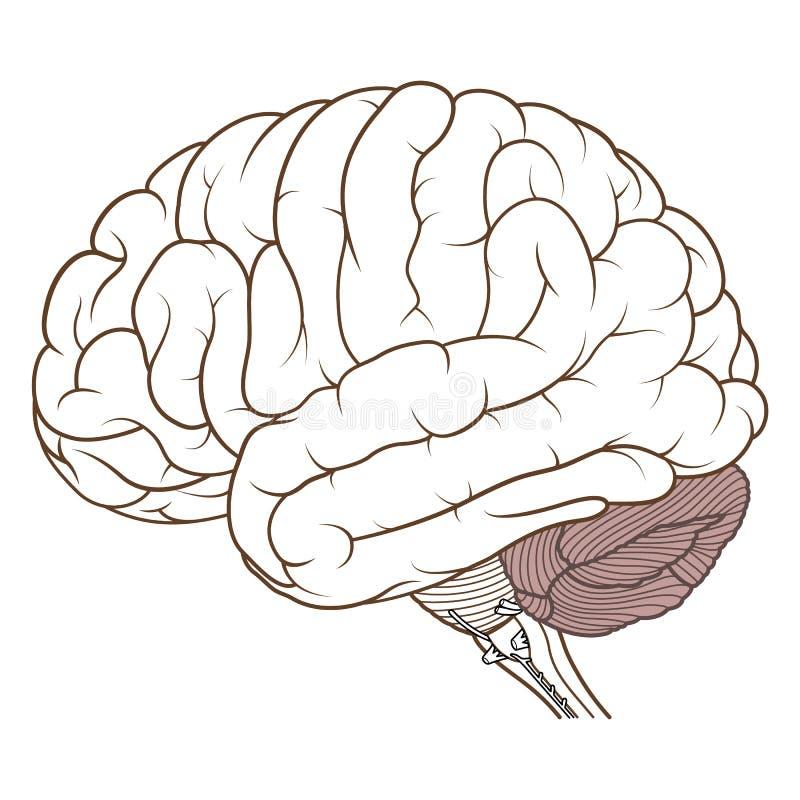 Färgad lillhjärnan av för anatomisida för mänsklig hjärna sikten framlänges vektor illustrationer