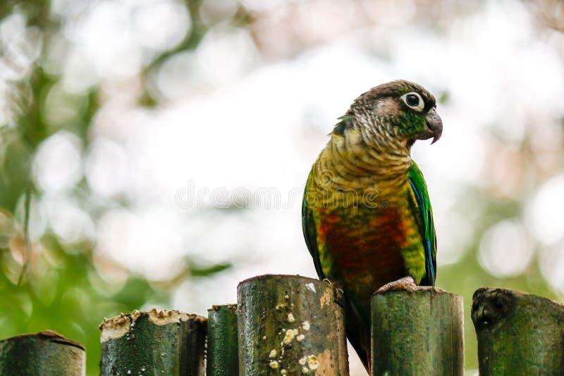 Färgad papegoja fotografi Bokeh fantastiska färger Korsbaksidaöga arkivfoto