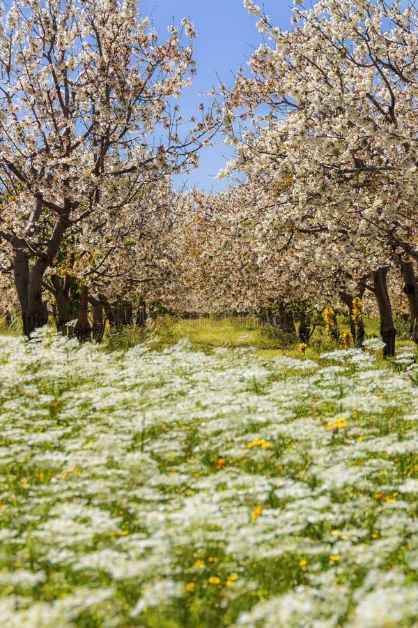 Färger av Apulia Lantligt landskap för vår: körsbärsröda blomningar på blomningäng italy royaltyfri bild