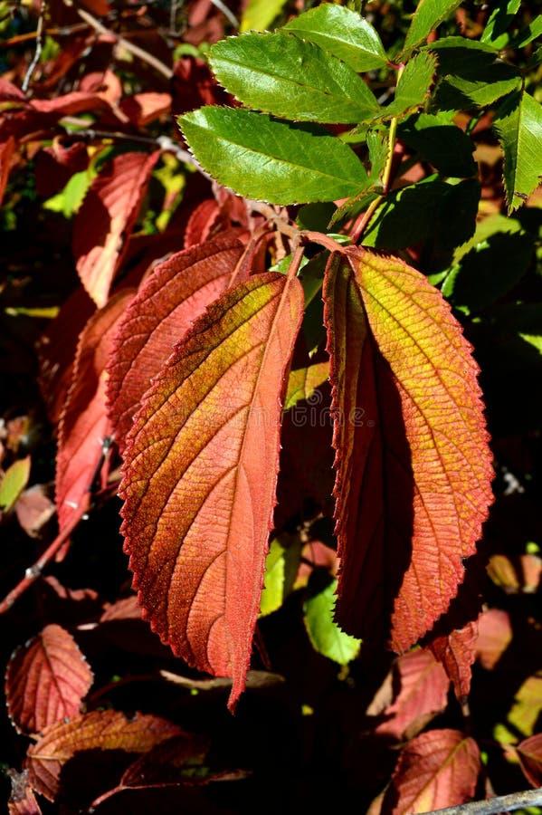Färger för nedgång för Ulmus för almträd arkivbilder
