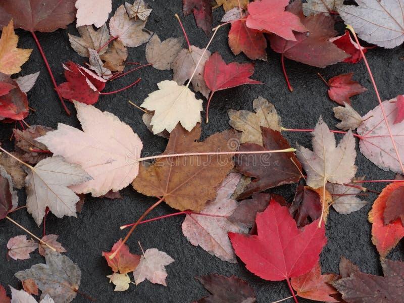 Färger för vinter för blad för nedgångträdsidor arkivbilder