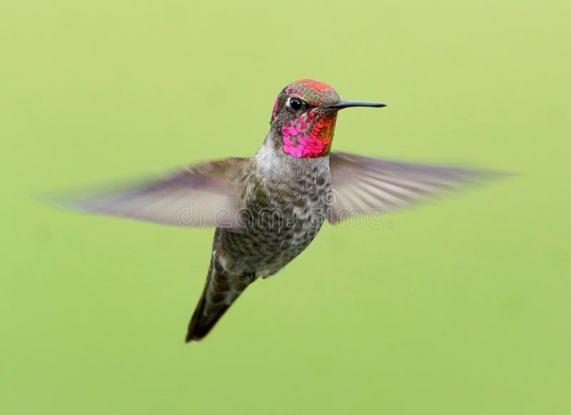 Färgglad Annas kolibri på en grön bakgrund i flykten royaltyfria bilder